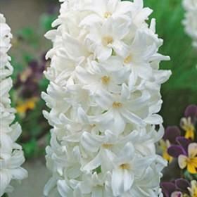 Гиацинт WHITE