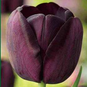 Тюльпан BLACK