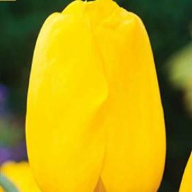 Тюльпан YELLOW