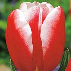 Тюльпан RED-WHITE