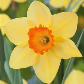 Narcissus YELLOW-RED