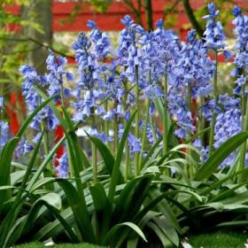 Гиацинт HYACINTHOIDES HISPANICA BLUE