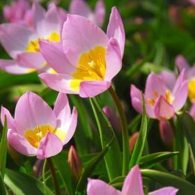 Тюльпан BAKERI LILAC WONDER
