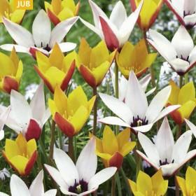 Тюльпан BELLES TULIPES