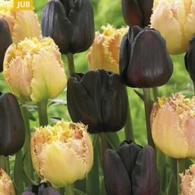 Тюльпан BROWN SUGAR MIX