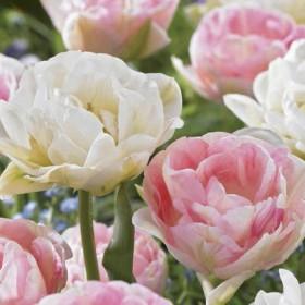 Тюльпан DOUBLE SENSATION