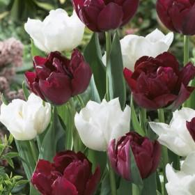 Тюльпан GRANDEUR