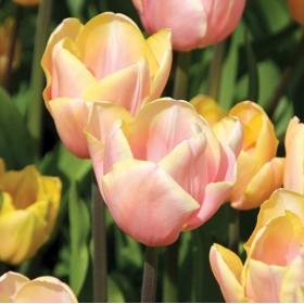 Тюльпан MANGO CHARM