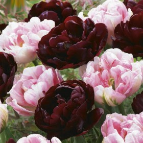 Тюльпан SWEET DESIRE MIX
