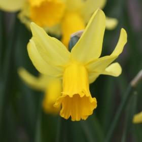Нарцисс February Gold