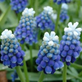 Мускари MUSCARI TOUCH OF SNOW