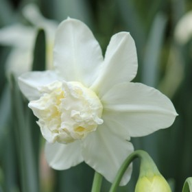 Нарцисс WHITE MARVEL