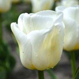 Тюльпан CALGARY