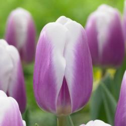 Тюльпан LIBRIJE