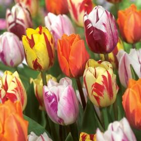 Тюльпан FLAMING BEAUTY MIX