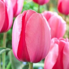 Тюльпан  PINK IMPRESSION