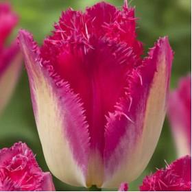 Тюльпан AUXERRE