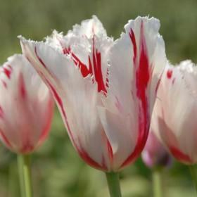 Тюльпан CARROUSEL