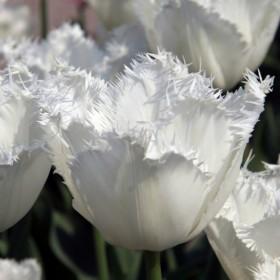Тюльпан HONEYMOON
