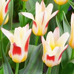 Тюльпан JOHANN STRAUSS