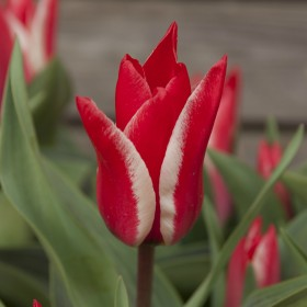 Тюльпан greigii PINOCCHIO