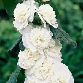 Штокроза ALCEA ROSEA DOUBLE WHITE