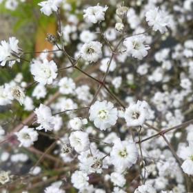 Гипсофила GYPSOPHYLA Paniculata Bristol Fairy