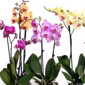 Орхидея Фаленопсис 2 цветоносf
