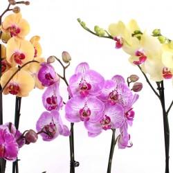 Орхидея Фаленопсис 1 ветка, каскад