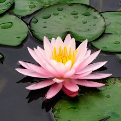 Hимфеи (водяная лилия)