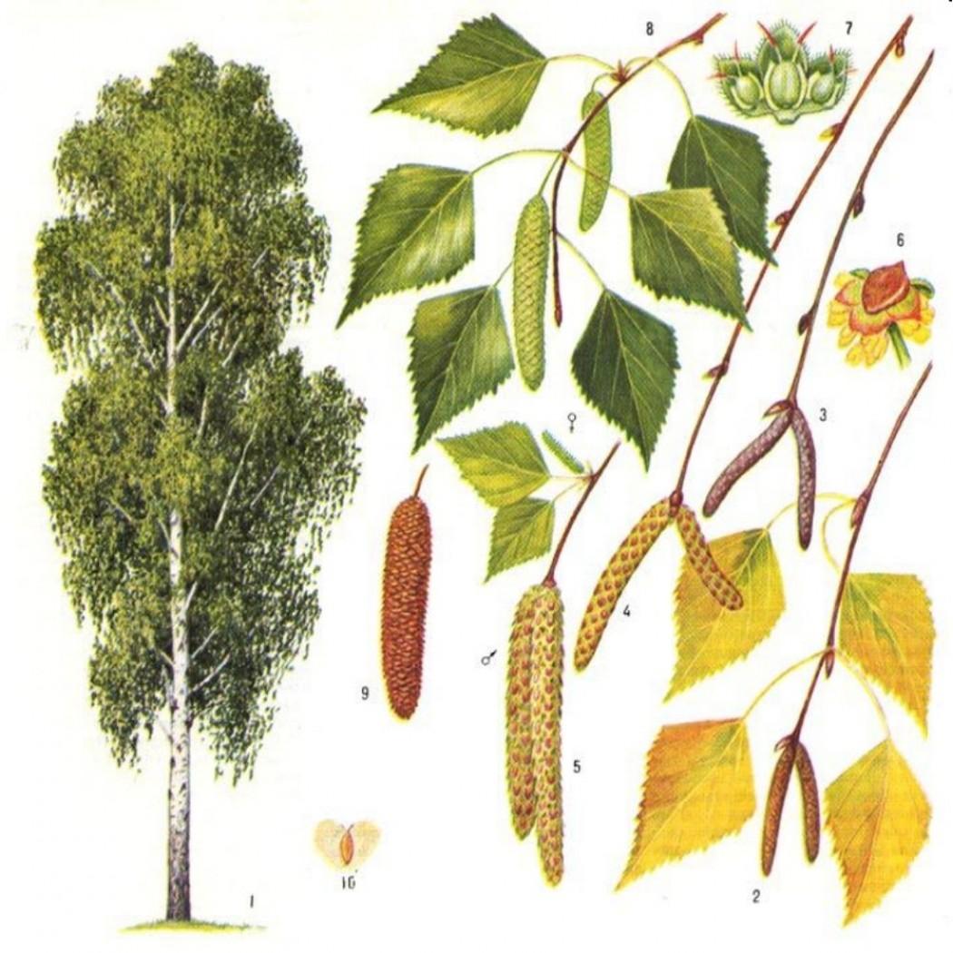 Картинка деревья и их семена береза сосна клен дуб 8